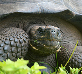 Eastern Santa Cruz Tortoise; photo courtesy James P. Gibbs